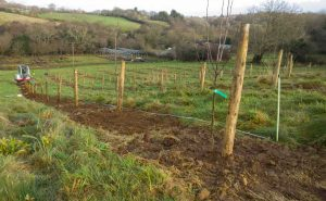 planting the first of the apple trees at Brooksgrove Farm Dec-2016