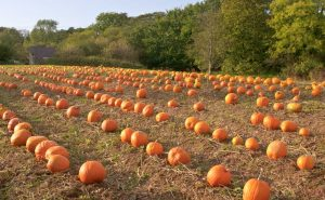 Here's our great Pembrokeshire Pumpkin Patch for the 2014 season