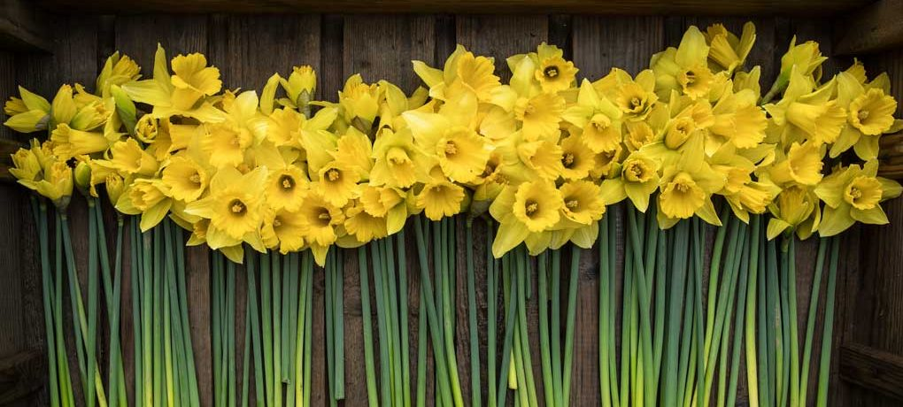 crate-of-daffodils