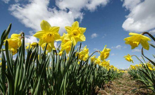 Field-of-Daffodils