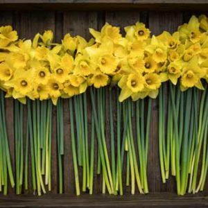 Pembrokeshire Daffodils