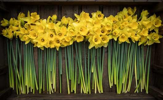 Box-of-Brooksgrove-Daffodils